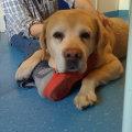 Массаж для собак: техника выполнения, при каких заболеваниях применяется