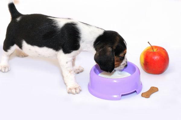 Как давать собаке кефир