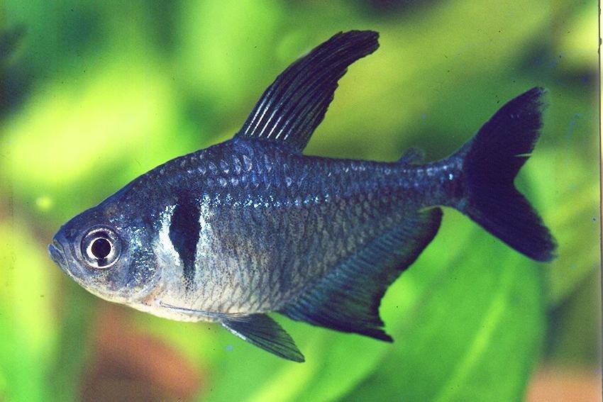 Рыба черный фантом