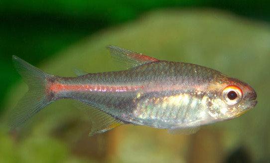 Рыба розовый неон