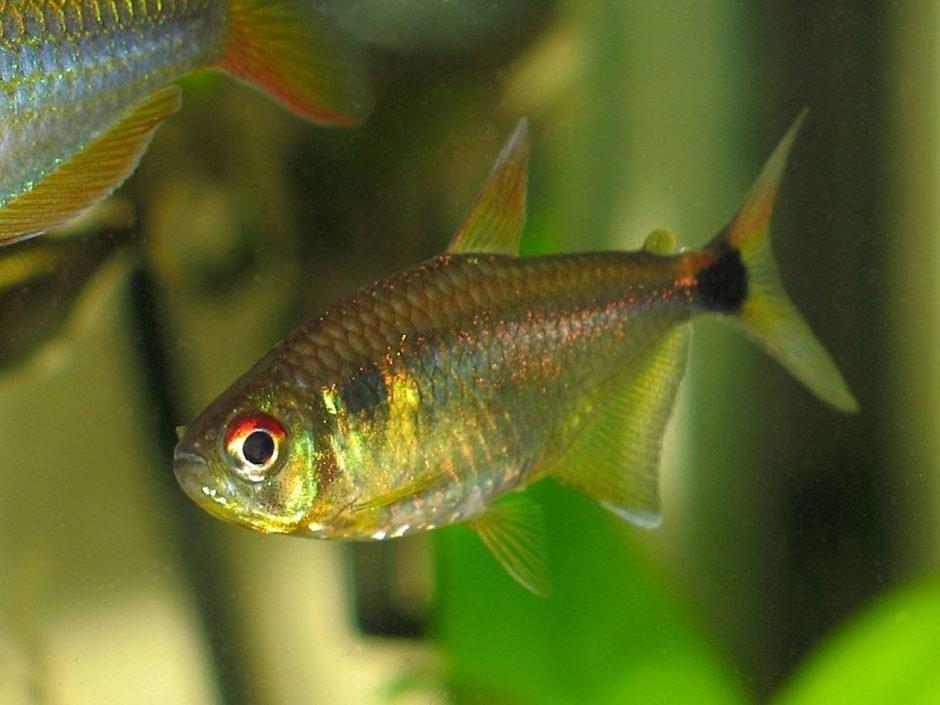 Рыбка тетра-фонарик