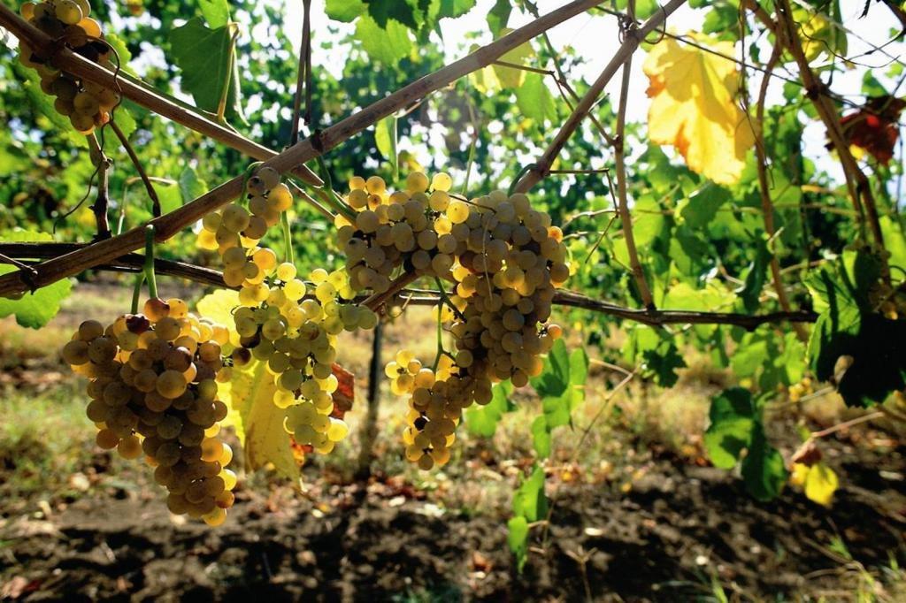черные сорта винных винограда