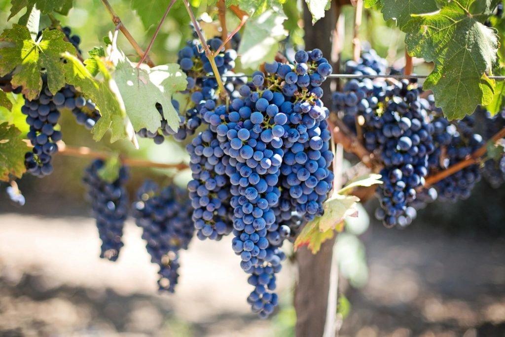 винные сорта винограда для средней полосы россии