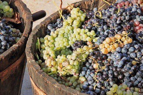 сорт винограда винные саженцы