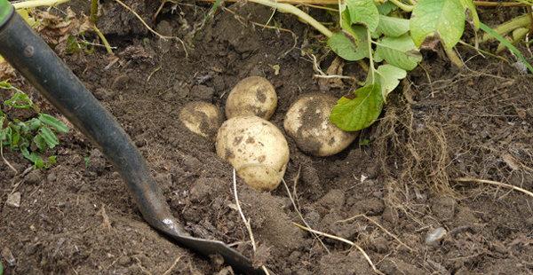 Самодельный ручной окучник для картофеля