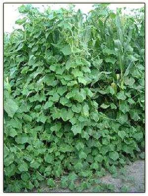Как вырастить огурцы в открытом грунте: от посадки до уборки