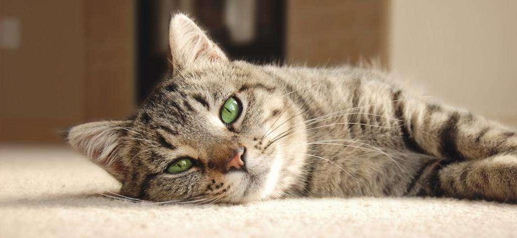 Колит у кошек: симптомы, лечение, виды и профилактика