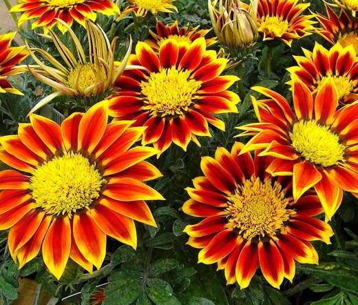 Цветы газания: фото и описание, посадка и уход
