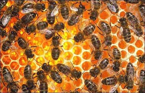 Пчелиное маточное молочко: применение и свойства