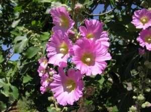 Многолетняя мальва: выращивание из семян