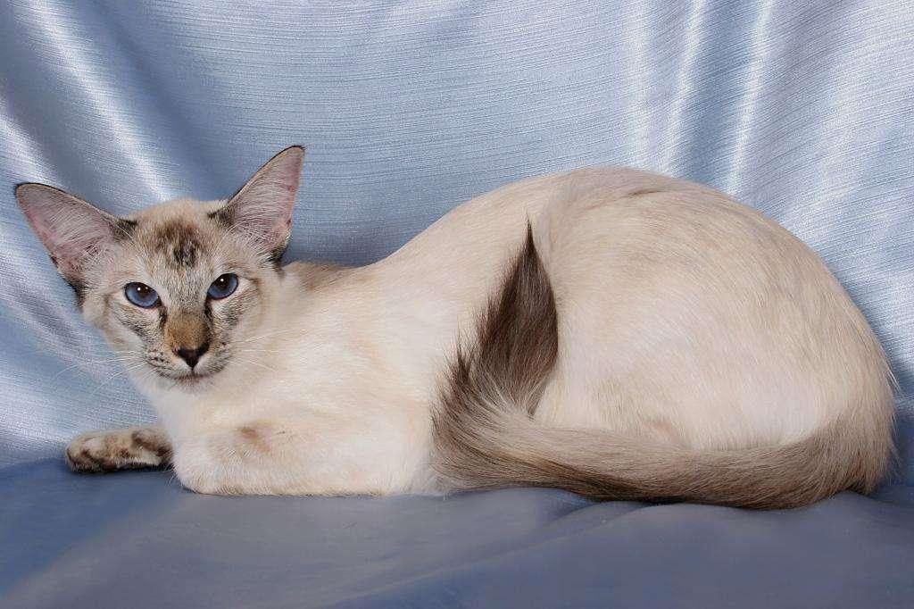 Кошки балинезийской породы: описание с фото, особенности разведения котят, характеристики породы и советы по уходу