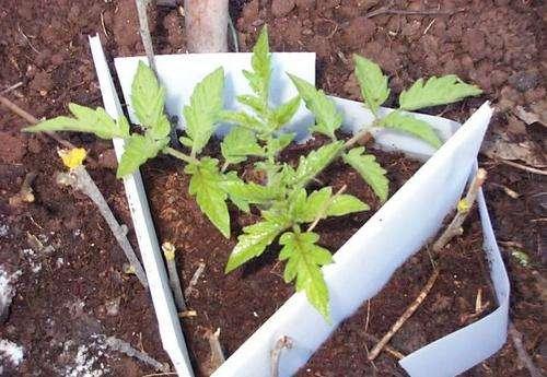 Огородо-дачные хлопоты: высадка рассады помидор в грунт
