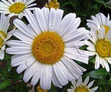 Пиретрум из семян: выращивание и уход