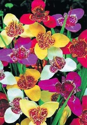 Тигридия: выращивание и уход за цветами ацтеков