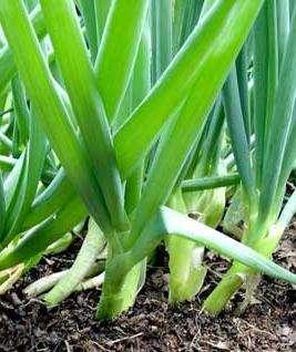 Лук батун: выращивание из семян возможно даже за полярным кругом