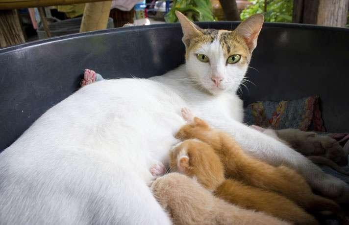 Почему кошка после родов беспокойная и мяукает?