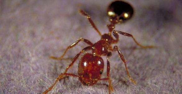Как правильно использовать муравьиное масло против роста волос