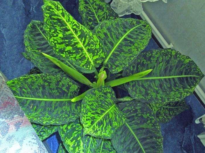 Диффенбахия: можно ли держать дома это чудо-растение