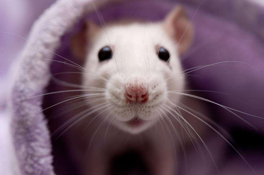 Опухоли у крыс: причины, симптомы, профилактика и лечение