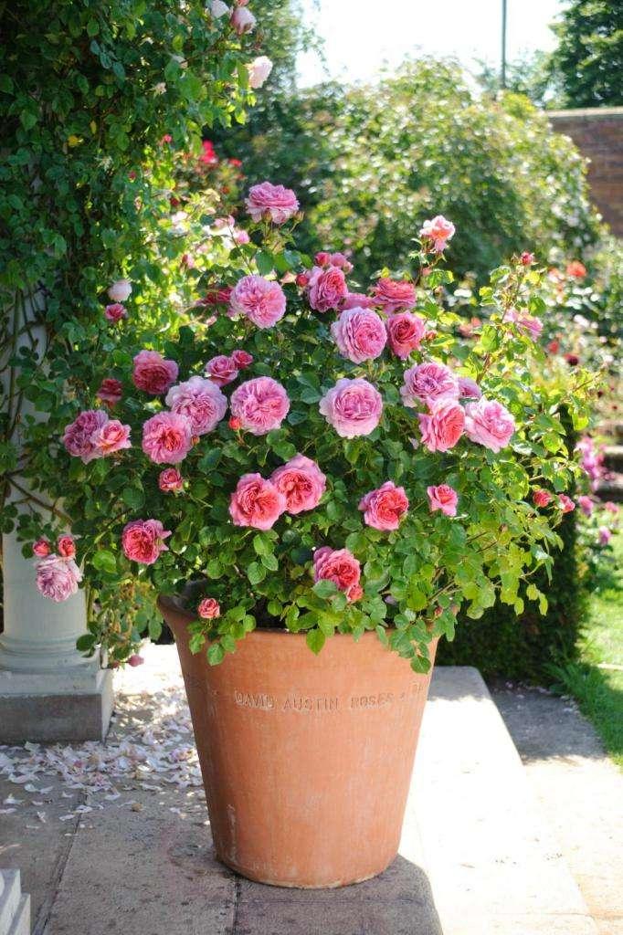 Миниатюрные розы: обзор сортов, особенности выращивания и ухода