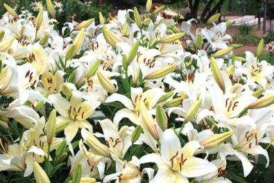 Лилия королевская, растение-символ