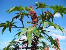 Клещевина обыкновенная – лучшее украшение садовых клумб