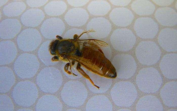 Лечение пчелиным подмором ряда заболеваний