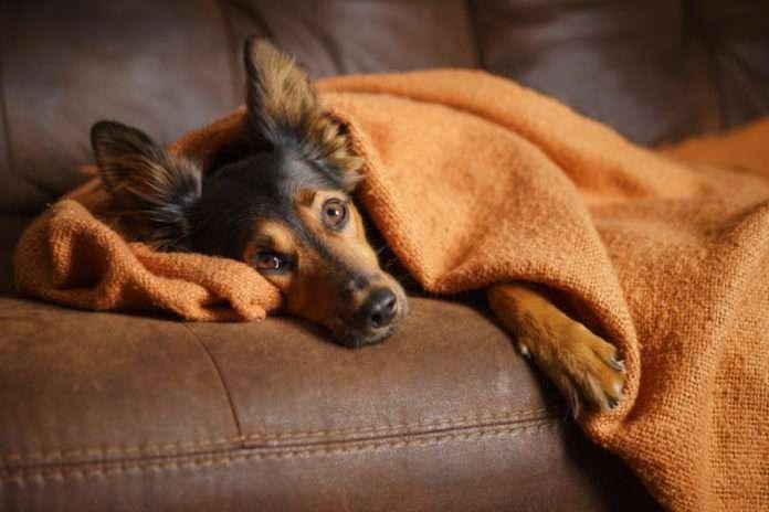 Норма сахара в крови у собак. Причины и симптомы повышенного и пониженного уровня сахара у собак