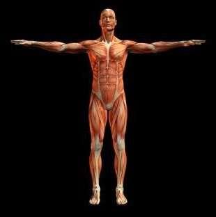 Гладкие и поперечно-полосатые мышечные ткани