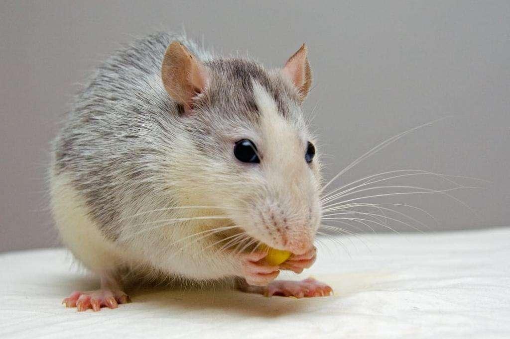 Зубы крысы — особенности, строение и интересные факты