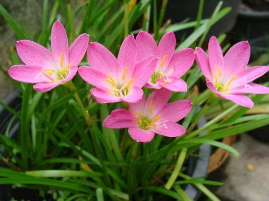 Зефирантес: уход в домашних условиях, описание, фото, особенности выращивания