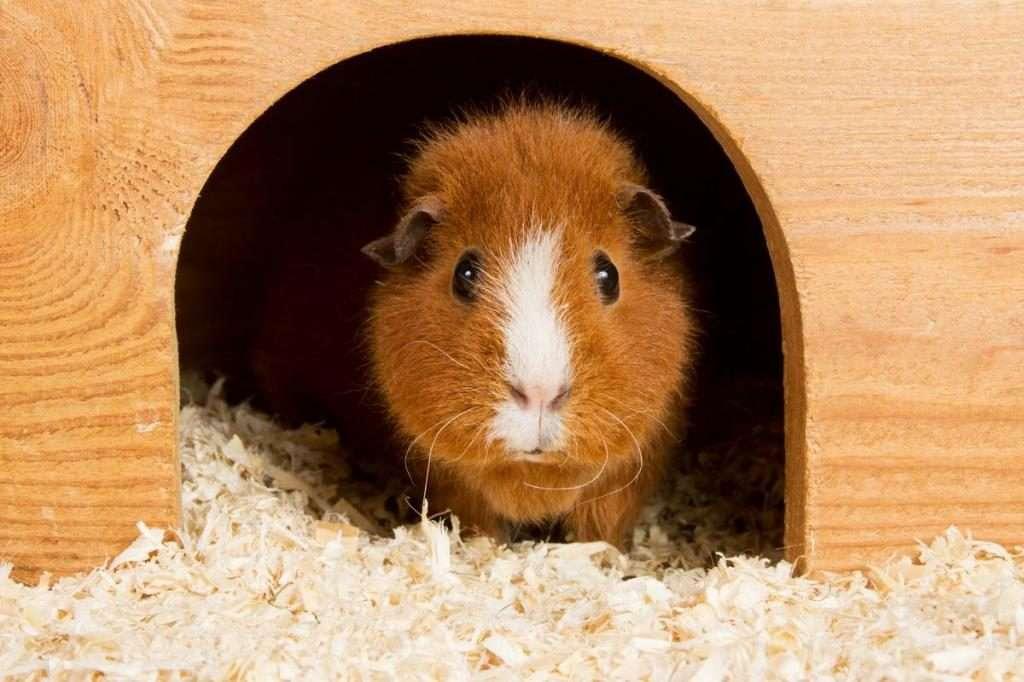 Как принимать роды у морской свинки?