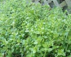 Мокрица-трава. Лечебные свойства и не только