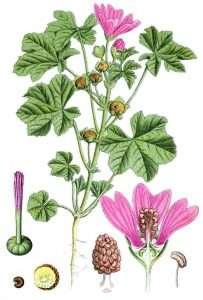 Цветок мальва: посадка и уход в открытом грунте