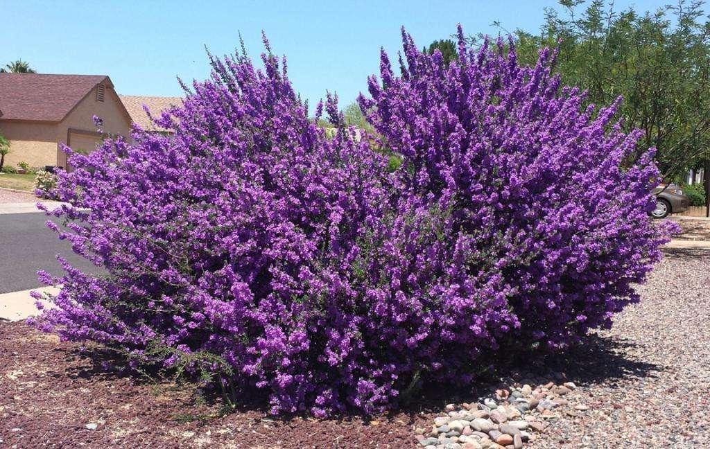 Самые популярные цветущие кустарники (фото)