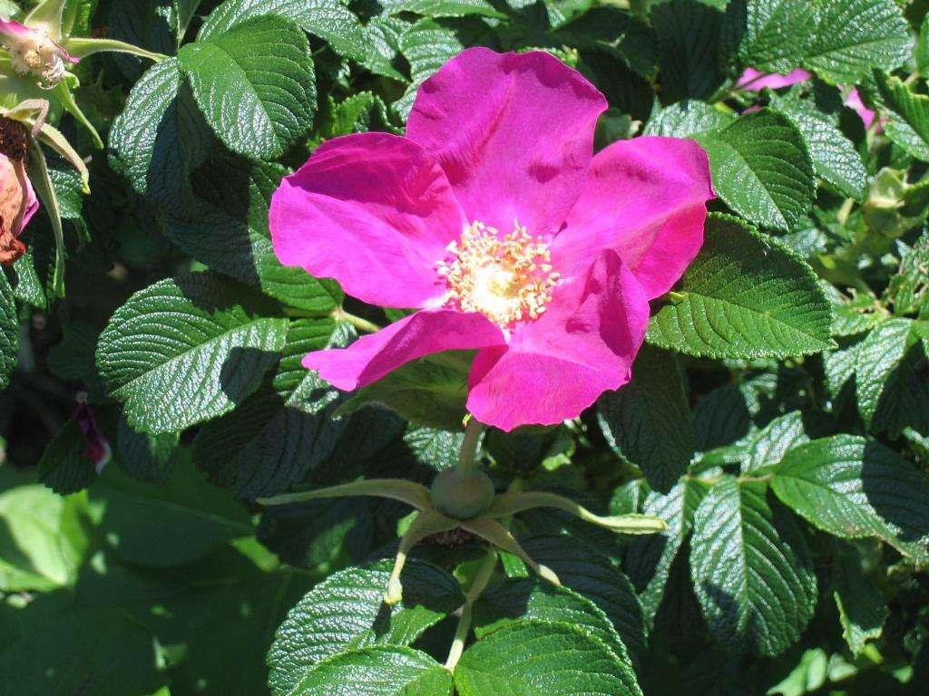 Роза морщинистая: описание, посадка и уход, размножение