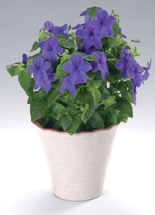 """Цветок """"Невеста"""" - интересное растение, лучше развивающееся с """"Женихом"""""""