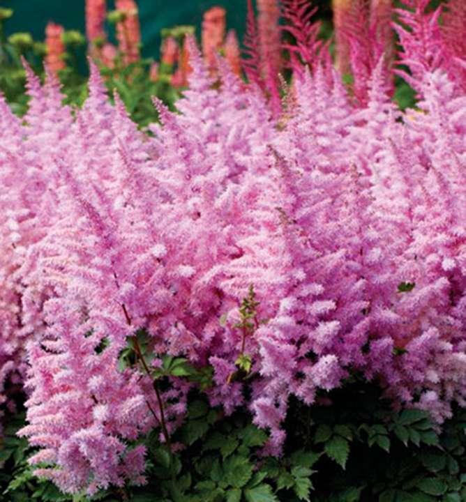 Цветок астильба: посадка и уход в открытом грунте, особенности выращивания и размножение