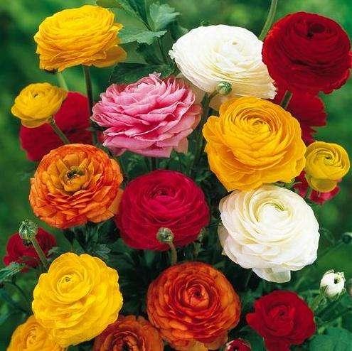 Сказочные цветы ранункулюс