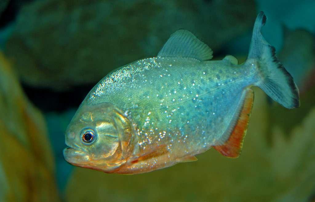 Пиранья наттерера: описание и особенности содержания в аквариуме