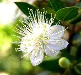 Цветок мирт - бальзам, мирра, элексир молодости
