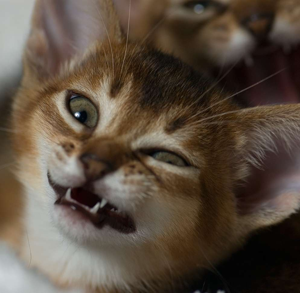 Что делать, если котенок чихает постоянно: причины и профилактические меры