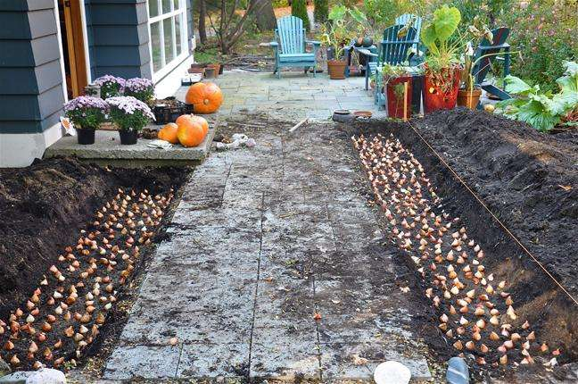 Как хранить луковицы тюльпана до посадки?