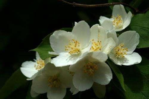 Королевские цветы жасмина - нежный аромат и утонченная красота