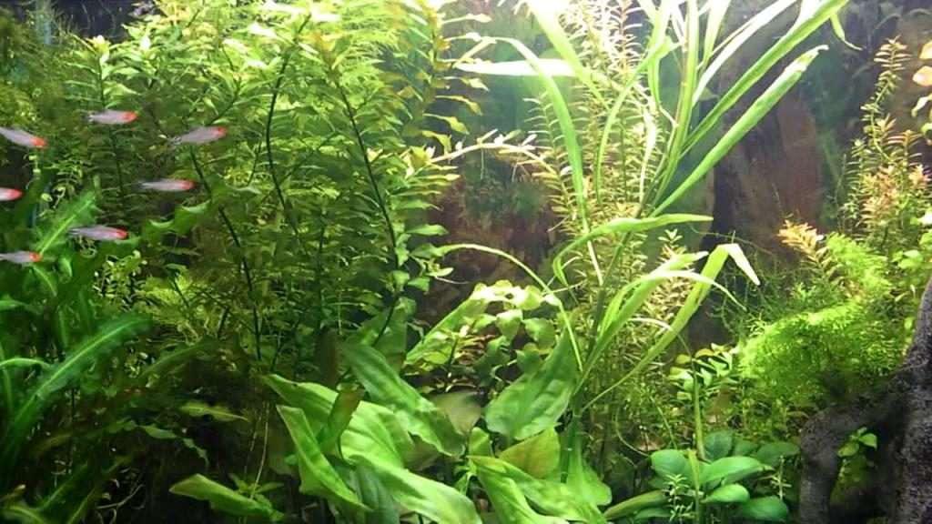 Рыбка родостомус, или красная тетра: содержание, совместимость, интересные факты