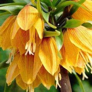 Цветы императорский рябчик – монарший представитель садовых растений