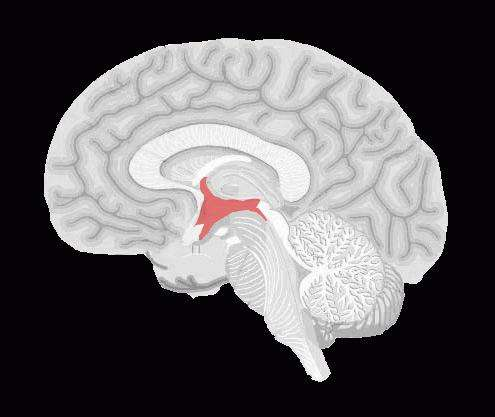 Гипоталамус - что это такое и его связь с долями гипофиза