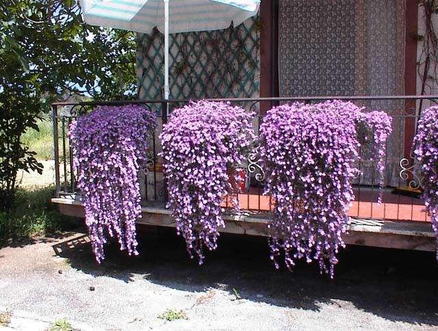Вьющийся цветок в доме и в саду