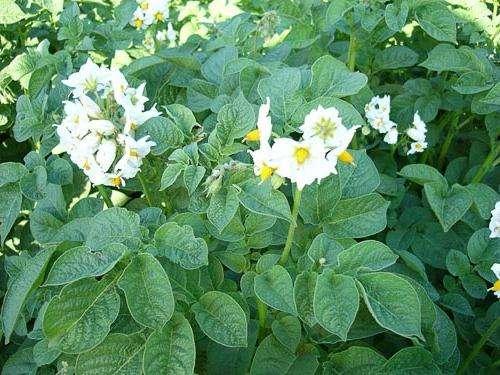 Посадка картофеля на Урале: как правильно?