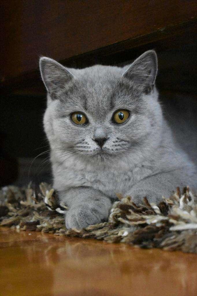 Существуют ли недорогие породы кошек?
